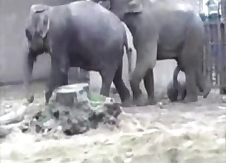 Killer elephants are enjoying bestiality hookup action